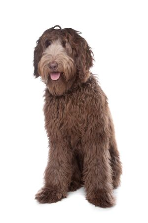 Labradoodle in front of a white background photo
