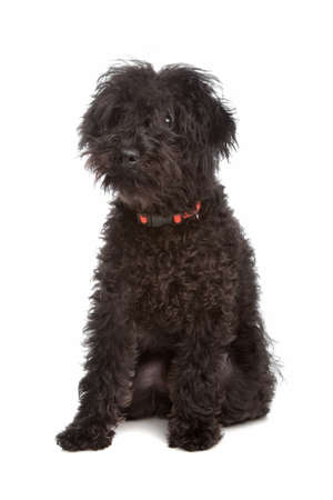 Labradoodle in front of a white background Stock Photo