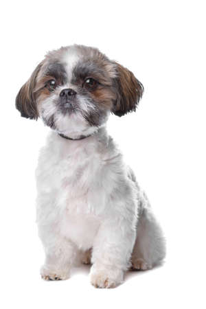 shih: shih tzu dog in front of a white background Stock Photo