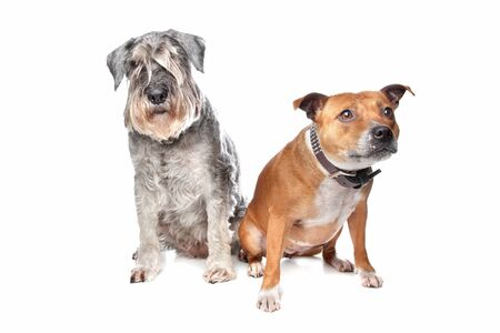 stafford: Stafford e un cane Schnauzer davanti a uno sfondo bianco Archivio Fotografico