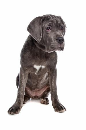 cane corso: Cane Corso canna di fronte a uno sfondo bianco