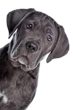 Cane Corso dog in front of a white background