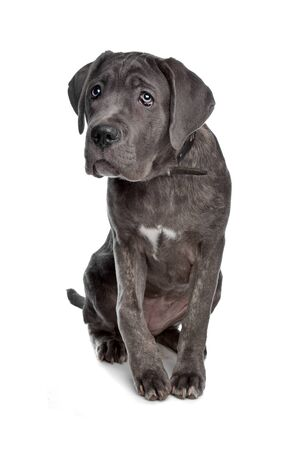 cane corso: Cane Corso dog in front of a white background