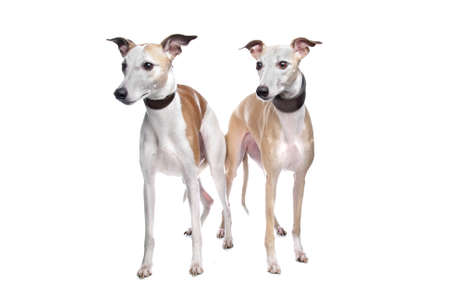 Two Whippet hounds in front of white background photo