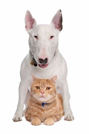 Bull Terrier dog and short-haired main cat coon in front of a white background Imagens