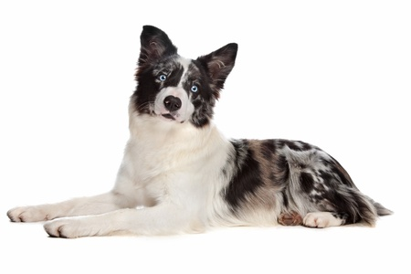 Border Collie sheepdog in front of a white background photo