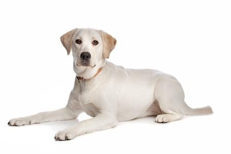labrador retriever: Labrador retriever delante de un fondo blanco Foto de archivo