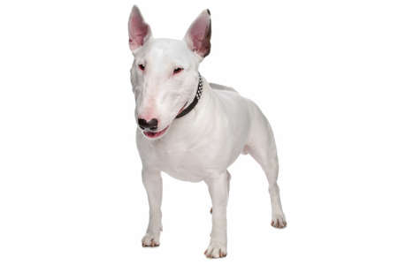 k9: bull terrier dog in front of a white background