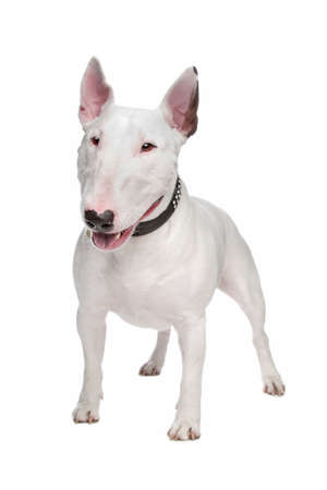bull terrier dog in front of a white background