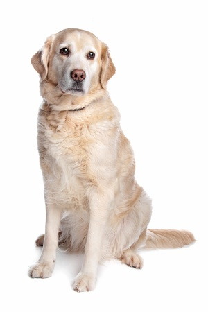 k9: Labrador retriever in front of a white background Stock Photo