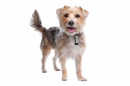 mutt: mixed breed dog,yorkshire terrier,maltese