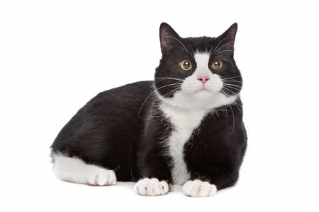 gato negro: gato blanco y negro de un fondo blanco Foto de archivo