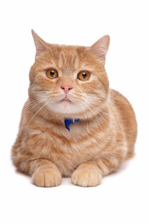 shorthaired: red exotic short-haired maine coon cat in front of a white background