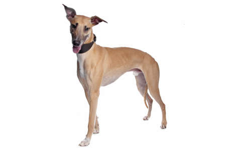 Greyhound, Whippet, Galgo dog in front of a white background photo