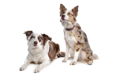 two border collie shepherd dogs in front of a white background Stock Photo - 9488732