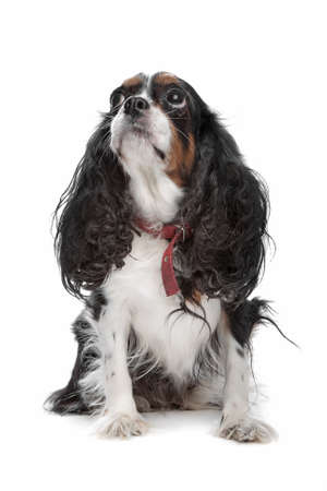 cavalier king charles spaniel: Cavalier King Charles Spaniel in front of a white background