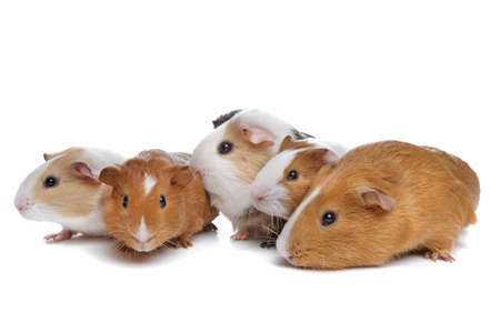 five guinea pigs in a row on a white background Stock Photo