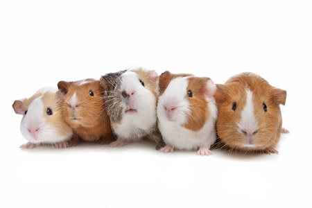 cavie: five guinea pigs in a row on a white background Archivio Fotografico