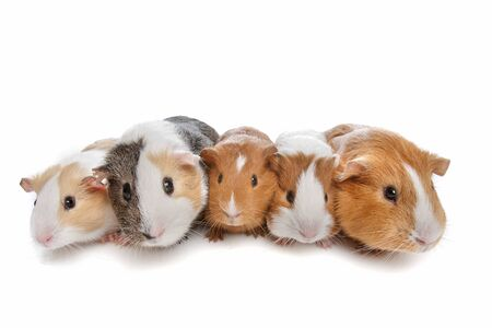 five guinea pigs in a row on a white background Imagens