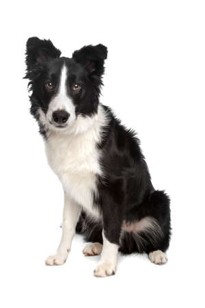 herding dog: Border Collie sheepdog in front of a white background