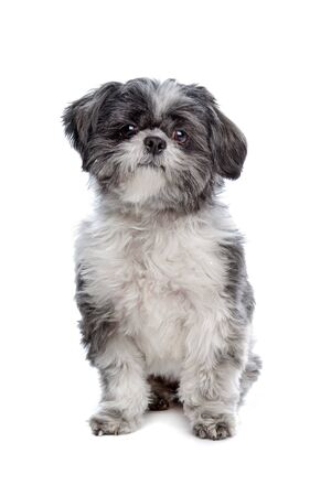 Lhasa Apso in front of a white background Stock Photo