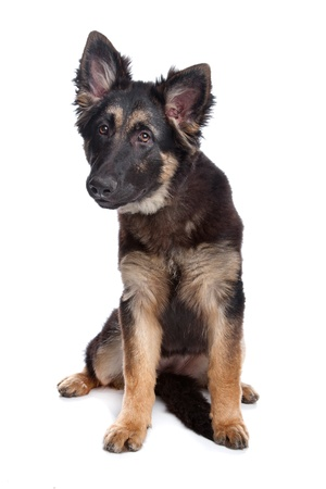 german shepherd puppy: German Shepherd puppy in front of a white background Stock Photo