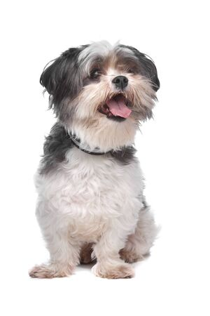 pure bred: boomer, mixed breed dog in front of a white background