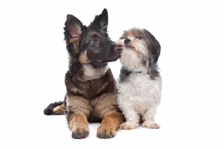 German Shepherd puppy and a boomer mixed breed dog in front of a white background photo
