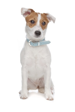 Jack Russel Terrier dog in front of a white background