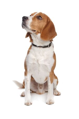 Beagle dog in front of a white background photo