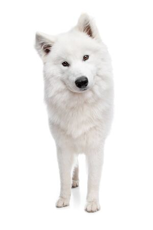 dog sled: Samoyed dog in front of a white background Stock Photo
