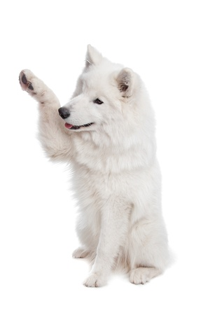 Samoyed dog in front of a white background Stock Photo
