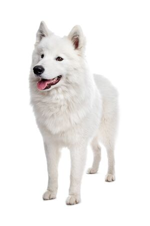 Samoyed dog in front of a white background Imagens