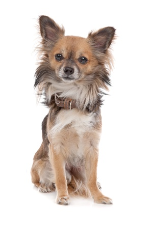 chihuahua dog: Long haired chihuahua dog in front of a white background