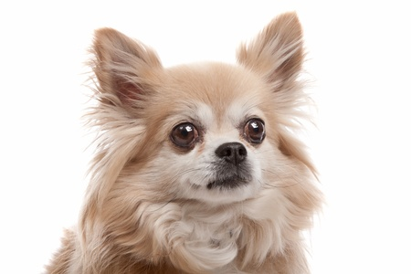 Long haired chihuahua dog in front of a white background photo