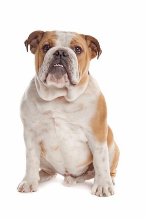 dogo: Bulldog inglés delante de un fondo blanco Foto de archivo