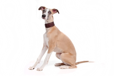 purebreed: Whippet puppy dog in front of a white background