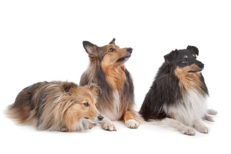 miniature collie: three Shetland Sheepdogs in front of a white background Stock Photo