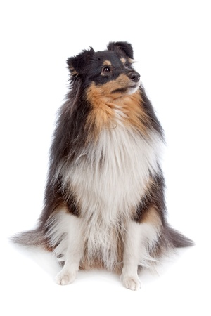 miniature collie: shetland sheepdog in front of a white background Stock Photo