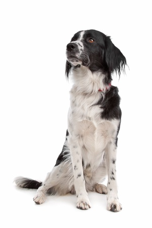 pointer dog: Stabyhoun in front of a white background