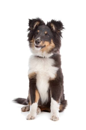 miniature collie: shetland sheepdog