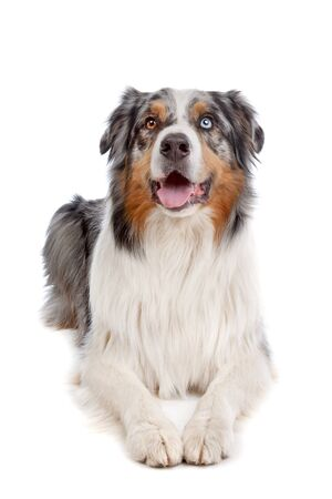 australian shepherd: Australian Shepherd in front of a white background