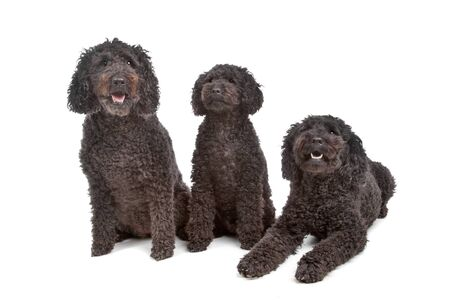 pure bred: two labradoodle and one poodle dog Stock Photo