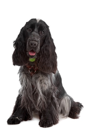 English Cocker Spaniel dog in front of a white background photo
