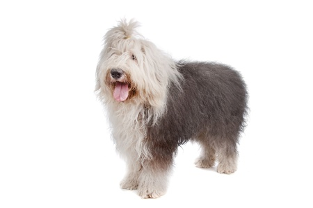 sheepdog: Old English Sheepdog in front of a white background Stock Photo