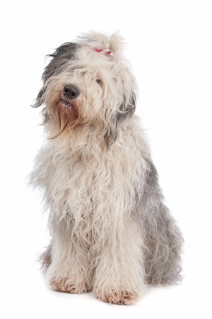 Old English Sheepdog in front of a white background photo