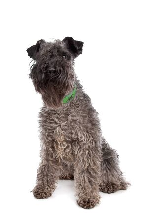 kerry: Kerry Blue Terrier in front of a white background Stock Photo