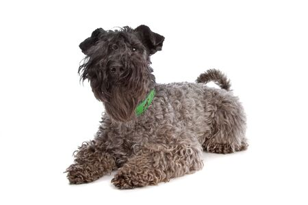 kerry blue terrier: Kerry Blue Terrier in front of a white background Stock Photo