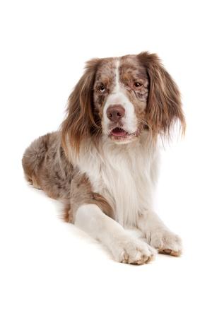 springer spaniel: mixed breed dog. Australian shepherd, English springer spaniel