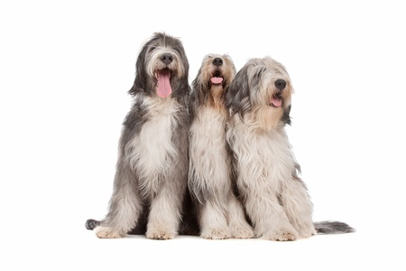 three Bearded Collie dogs in front of a white background